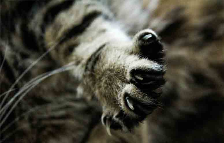 quitar uñas gato o desungulacion